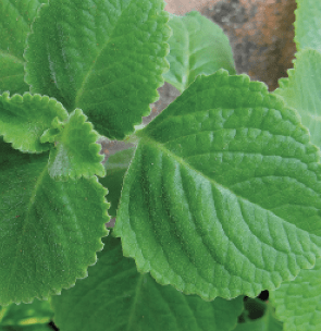 Ajwain-Blätter