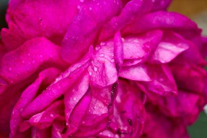 Grosse Lotusblüte in pink